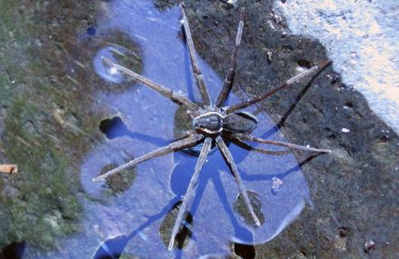New Spider found. Dolomedes Briangreeni eats fish and frogs!