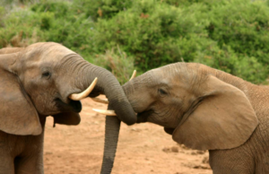 elephants rarely get cancer